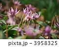 カタクリ スプリングエフェメラル 東一華の写真 3958325