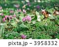 カタクリ スプリングエフェメラル 東一華の写真 3958332