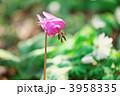 カタクリ スプリングエフェメラル 東一華の写真 3958335