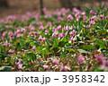 カタクリ スプリングエフェメラル 片栗の写真 3958342