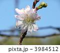 十月桜 ジュウガツザクラ じゅうがつざくらの写真 3984512