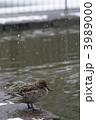 渡り鳥 冬鳥 オナガガモの写真 3989000