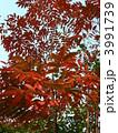 トウハゼ ロウノキ ハゼノキの写真 3991739