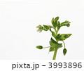 ハコベ ミドリハコベ 緑繁縷の写真 3993896