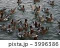 オナガガモ ヒドリガモ カモの写真 3996386