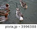 オナガガモ ヒドリガモ カモの写真 3996388