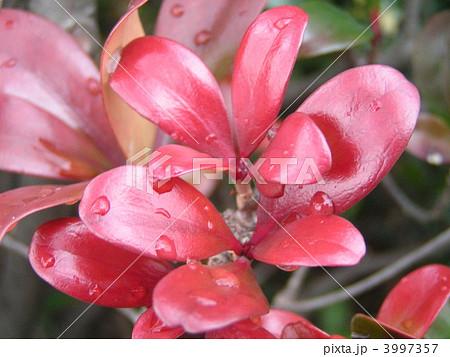 雨上がり赤色の新葉が際立って綺麗なモッコク 3997357