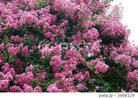 百日紅サルスベリの大木が満開です。 3998129
