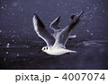 ユリカモメ 冬鳥 渡り鳥の写真 4007074