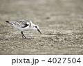 ミユビシギ 鳥 野鳥の写真 4027504