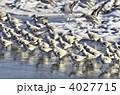 ミユビシギ 渡り鳥 鳥の写真 4027715