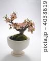 梅の盆栽 盆栽 梅の写真 4038619