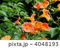 凌霄花 紫葳 ノウゼンカズラの写真 4048193