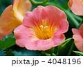 凌霄花 紫葳 ノウゼンカズラの写真 4048196