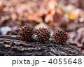 モミジバフウ アメリカ原産 紅葉葉楓の写真 4055648