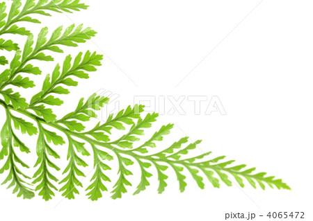 シダ植物 4065472