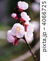 あんずの花 4066725