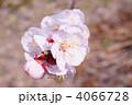 あんずの花 4066728