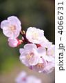 あんずの花 4066731