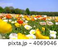 芥子 ポピー畑 ヒナゲシの写真 4069046