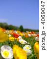 芥子 ポピー畑 ヒナゲシの写真 4069047