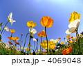 芥子 ポピー畑 ヒナゲシの写真 4069048