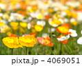 芥子 ポピー畑 ヒナゲシの写真 4069051