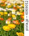 芥子 ポピー畑 ヒナゲシの写真 4069052