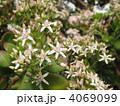 カネノナルキ 成金草 花の写真 4069099