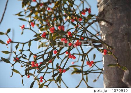 木に寄生するヤドリギ 4070919
