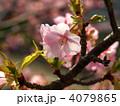 カワヅザクラ 葉桜 河津桜の写真 4079865