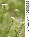 ぺんぺん草 ナズナ ペンペン草の写真 4080096
