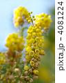 柊南天 ヒイラギナンテン 花の写真 4081224