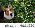 イチゴの花畑 4081559