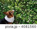 イチゴの花畑 4081560