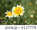シュンギクの花 春菊の花 しゅんぎくの写真 4117778