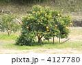 果樹 八朔 ハッサクの写真 4127780