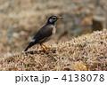 ムクドリ 鳥 小鳥の写真 4138078