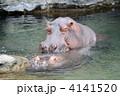 草食動物 カバ 動物の写真 4141520