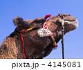 偶蹄目 ヒトコブラクダ 動物の写真 4145081
