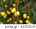 黄色の実 栴檀 センダンの写真 4150329