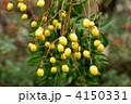 黄色の実 栴檀 センダンの写真 4150331