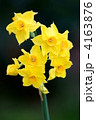 黄水仙  4163876