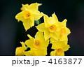 黄水仙  4163877