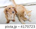 茶トラ猫 ペット ミニチュアダックスの写真 4170723