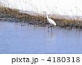 サギ 鷺 白鷺の写真 4180318