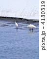 サギ 鷺 白鷺の写真 4180319