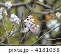 十月桜 ジュウガツザクラ じゅうがつざくらの写真 4181038