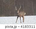陸上動物 エゾシカ エゾジカの写真 4183311