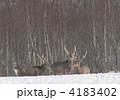 エゾシカ エゾジカ 動物の写真 4183402